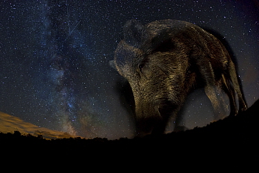 Wild boar (Sus scrofa) at night with the milky way in the background, Gyulaj, Tolna, Hungary. August. Taken using long exposure with flash at night. Winner of the Mammals Category of the GDT Awards 20...