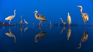 Little egret (Egretta garzetta) and Grey herons (Ardea cinerea) reflected in lake at twilight, Lake Csaj, Pusztaszer, Hungary. June. Winner of the Portfolio category of the Terre Sauvage Nature Images...