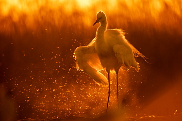 Little egret (Egretta garzetta) shaking water off wings at sunset, Lake Csaj, Pusztaszer, Hungary. May. Winner of the Portfolio category of the Terre Sauvage Nature Images Awards competition 2015.