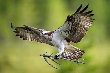 Osprey (Pandion haliaetus) in flight with nesting material, Hungary, July. Nominated in the Telephoto category of the Terre Sauvage Nature Images Awards competition 2015.