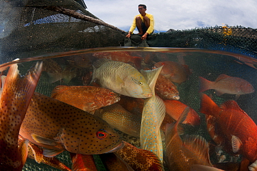 Man moving Grouper fish between fish pens, Tampakan, Kudat, Sabah, Borneo. June 2009. Second Place in the Portfolio Award of the Terre Sauvage Nature Images Awards Competition 2015.