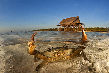 Mud crab (Scylla serrata) in shallow sandy water. Split level with island and thatched house on stilts. Moromahu Island, Wakatobi, South Sulawesi, Indonesia. Second Place in the Portfolio Award of the...