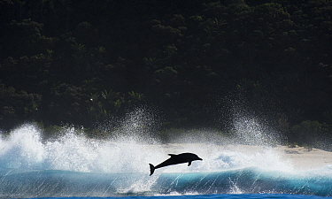 Bottlenosed dolphin (Tursiops truncatus)  porpoising during annual sardine run, Port St Johns, South Africa. June.
