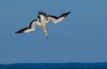 Cape gannet (Morus capensis) diving for fish during annual sardine run, Port St Johns, South Africa.  June.