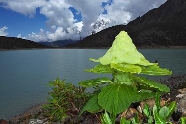 Noble rhubarb (Rheum nobile),  Mount Namjagbarwa, Yarlung Zangbo Grand Canyon National Park, Tibet, China.