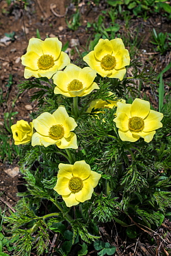 Yellow alpine pasqueflower (Pulsatilla alpina subsp. apiifolia) in flower in Val Veny, Italian Alps, Italy, June