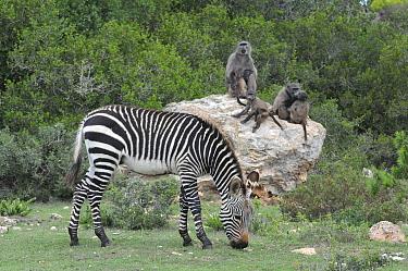 Mountain zebra (Equuas zebra zebra) and Chacma baboons (Papio hamadryas ursinus) DeHoop Nature Reserve, Western Cape, South Africa.