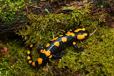 Fire salamander  (Salamandra salamandra) Sachsische Schweiz / Saxon Switzerland National Park, Germany, April.