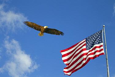 Bald eagle (Haliaeetus leucocephalus) and the Flag of the United States of America. Digital composite.