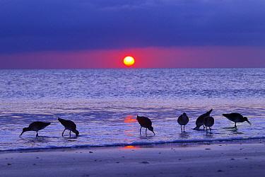 Willets (Catoptrophorus semipalmatus) feeding at sunset Gulf Coast, Florida, USA, March.