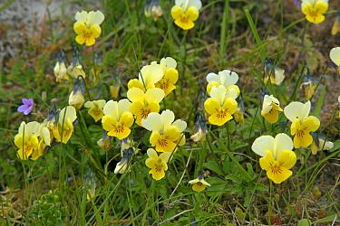 Mountain pansies (Viola lutea) Machair, North Uist, Scotland, UK, June.