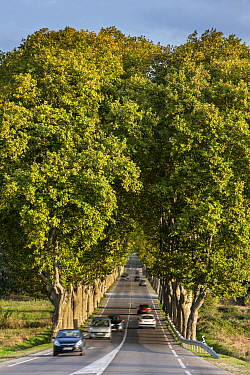 Plane trees (Platanus  acerifolia) bordering the French Route Nationale 7 / RN7 road, France, October 2014