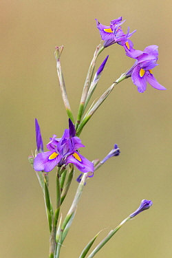 Karoo iris (Moraea polystachya) Mountain Zebra National Park, Eastern Cape, South Africa , February.