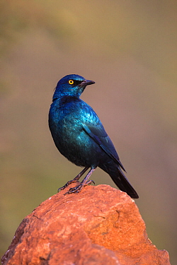 Cape glossy starling (Lamprotornis nitens) perched, Zimanga Private Game Reserve, KwaZulu-Natal, South Africa