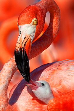 Caribbean flamingo (Phoenicopterus ruber) adult feeding chick, Ria Lagartos Biosphere Reserve, Yucatan Peninsula Mexico, June. Winner of the CONABIO Nature Photography Competition 2015.