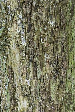 Bark of mature Field maple (Acer campestre). Cambridgeshire, UK, September.