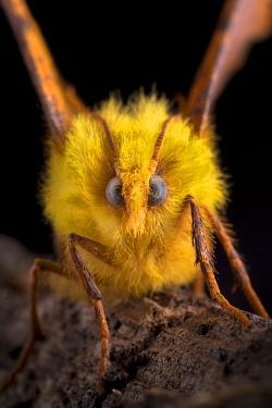 Canary-shouldered thorn moth (Ennomos alniaria) portrait, Peak District National Park, Derbyshire, UK. October.