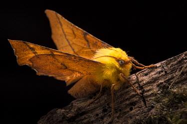 Canary-shouldered thorn moth (Ennomos alniaria). Peak District National Park, Derbyshire, UK. October.
