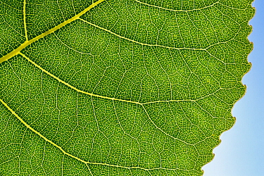 Hybrid Black poplar (Populus x canadensis) leaf detail showing venation. Cambridgeshire, UK. September.