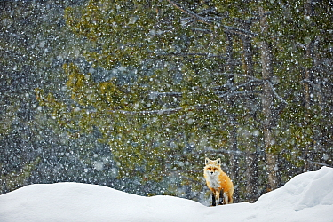 Red fox (Vulpes vulpes) standing in snowfall, Grand Teton National Park, Wyoming, USA, February. Winner of the NPL Best Single Image award in the Terre Sauvage Nature Images Awards competition 2015.