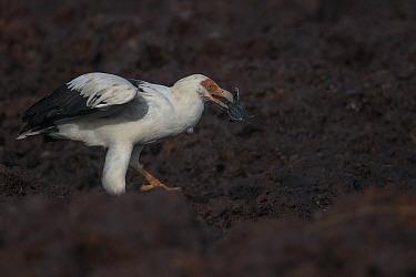 Palm-nut vulture (Gypohierax angolensis) feeding on baby Green turtle (Chelonia mydas) emerging from the nest, Bissagos Islands, Guinea Bissau. 3rd Place in the SOS Especes Menacees / SOS Endangered S...