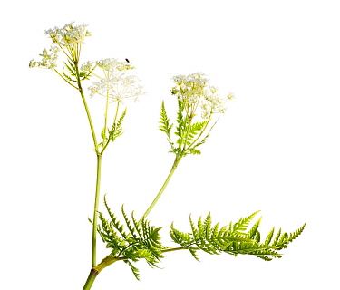 Sweet cicely (Myrrhis odorata) flowers, Scotland, UK, May.