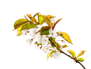 WIld cherry (Prunus avium) in flower, Scotland, UK, May.