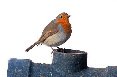 Robin (Erithacus rubecula) on drainpipe, Scotland, UK, February.