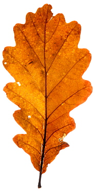 Pedunculate oak (Quercus robur) autumn leaf in the field studio, Angus, Scotland, UK. November