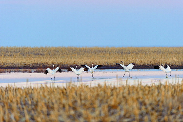 Whooping cranes (Grus americana) taking off during spring migration. Central South Dakota, USA. April.