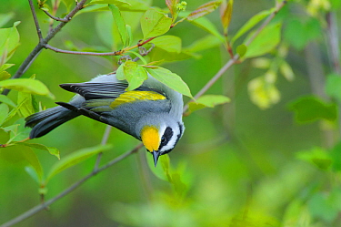 Golden-winged warbler (Vermivora chrysoptera) adult male foraging. St. Lawrence County, New York, USA. May.