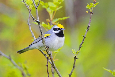 Golden-winged warbler (Vermivora chrysoptera) perched, St. Lawrence County, New York. May.