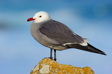 Heerman's gull (Larus heermanni) in breeding plumage. Monterey County, California, USA. December.