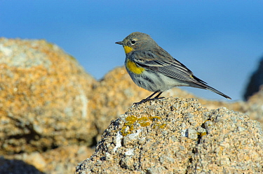 'Audubon's' Yellow-rumped Warbler (Setophaga coronata) in winter plumage foraging on coastal rocks. Monterey COunty, California, USA. December.