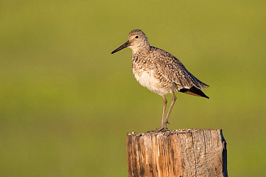 Willet (Tringa semipalmata) on fence post. Sublette County, Wyoming. June.