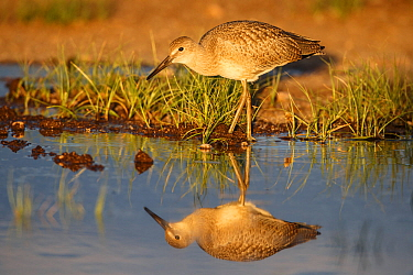 Willet (Tringa semipalmata) juvenile, in flooded pasture. Sublette County, Wyoming, USA.  June.