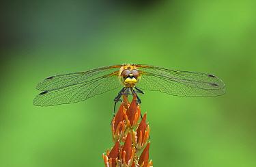 Black darter dragonfly (Sympetrum danae) female at rest on Bog Asphodel, Montiaghs Moss, Aghalee, County Antrim, Ireland, July.