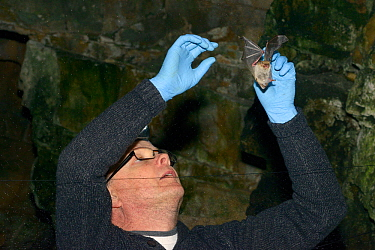 Natterer's bat (Myotis nattereri) being extracted from a mist net set across a cave entrance during an autumn swarming survey run by the Wiltshire Bat Group, near Box, Wiltshire, UK, September. Mo...