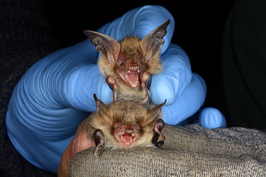 Bechstein's bat (Myotis bechsteinii) held above a Natterer's bat (Myotis nattereri)  for comparison during an autumn swarming survey run by the Wiltshire Bat Group, near Box, Wiltshire, UK, Se...