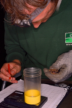 James Shipman recording sex and measurements for a Brandt's bat (Myotis brandtii) during an autumn swarming survey run by the Wiltshire Bat Group, near Box, Wiltshire, UK, September. Model release...