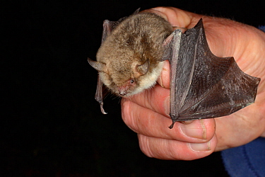Natterer's bat (Myotis nattereri) held with wings spread during an autumn swarming survey run by Wiltshire Bat Group, Box Mine, Wiltshire, UK, September. Model released.