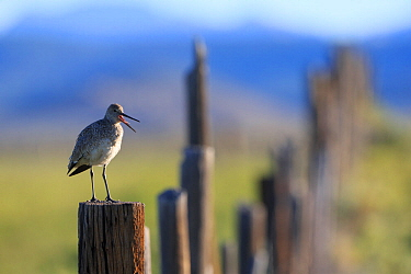 Adult Willet (Tringa semipalmata) giving alarm calls from a fence post. Sublette County, Wyoming, USA. June.