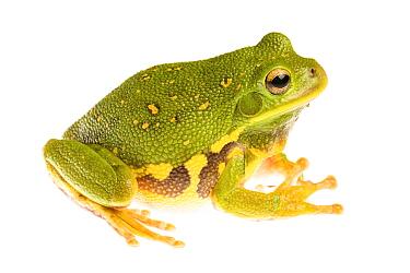 Barking tree frog (Hyla gratiosa) Tishomingo, Mississippi, USA, April. Meetyourneighbours.net project