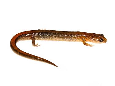 Webster's salamander (Plethodon websteri) Jackson, Mississippi, USA. February. Meetyourneighbours.net project