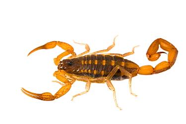 Bark scorpion (Centruroides) Apalachicola National Forest, Florida, USA, September. Meetyourneighbours.net project