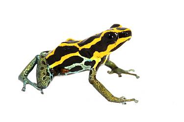 Amazonian poison dart frog (Ranitomeya ventrimaculata) captive. Meetyourneighbours.net project