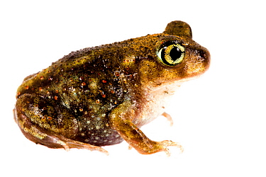 Eastern spadefoot toad (Scaphiopus holbrookii) Oxford, Mississippi, USA, May. Meetyourneighbours.net project