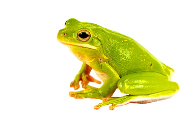 Green tree frog (Hyla cinerea) Oxford, Mississippi, USA, May. Meetyourneighbours.net project