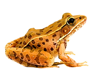 Southern leopard frog (Rana sphenocephala) Oxford, Mississippi, USA, May. Meetyourneighbours.net project