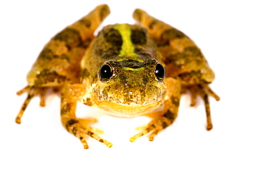 Southern cricket frog (Acris gryllus) portrait, Thompson Creek Landing, Mississippi, USA, May. Meetyourneighbours.net project
